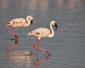 Two lesser flamingo (Phoeniconaias minor), Lake Nakuru National Park, Kenya, East Africa, Africa