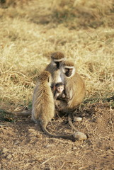 Vervet monkey with infant (Ceropithecus aethiops), Ngorongoro Crater, Tanzania, East Africa, Africa