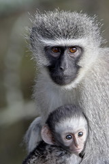 Vervet monkey (Chlorocebus aethiops) mother and infant, Mountain Zebra National Park, South Africa, Africa