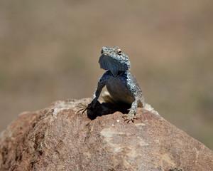Male Southern Rock Agama (Agama atra atra), Mountain Zebra National Park, South Africa, Africa
