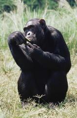 Chimpanzee (Pan troglodytes) in captivity, Uganda Wildlife Education Centre, Ngamba Island, Uganda, East Africa, Africa