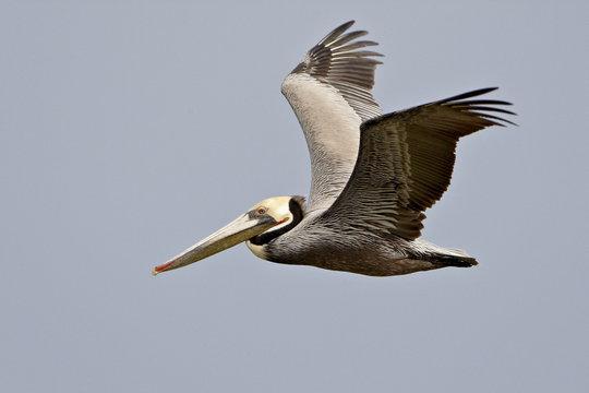 Brown pelican (Pelecanus occidentalis) in flight in partial breeding plumage, Salton Sea, California