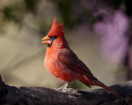 Male Northern cardinal (Cardinalis cardinalis), Chiricahuas, Coronado National Forest, Arizona