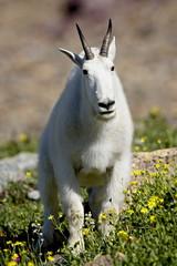 Mountain goat (Oreamnos americanus), Glacier National Park, Montana, United States of America, North America