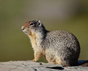 Columbian ground squirrel (Citellus columbianus), Glacier National Park, Montana, United States of America, North America