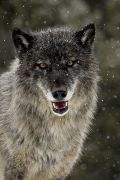 Captive gray wolf (Canis lupus) in the snow, near Bozeman, Montana