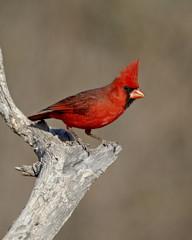 Male northern cardinal (Cardinalis cardinalis), The Pond, Amado, Arizona