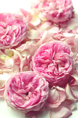pink wild roses tendre background