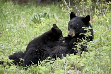 Black bear (Ursus americanus) sow nursing a spring cub, Yellowstone National Park, Wyoming, United States of America, North America