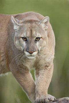 Mountain lion or cougar (Felis concolor), in captivity, Sandstone, Minnesota