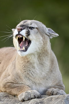 Mountain lion (cougar) (Felis concolor), in captivity Sandstone, Minnesota