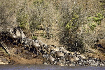 Herd of blue wildebeest (brindled gnu) (Connochaetes taurinus) crossing the Mara River, Masai Mara National Reserve, Kenya, East Africa, Africa