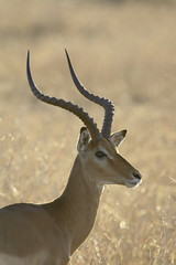 Male impala (Aepyceros melampus), Masai Mara National Reserve, Kenya, East Africa, Africa