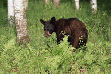 Black bear cub (Ursus americanus), in captivity, Sandstone, Minnesota, United States of America, North America