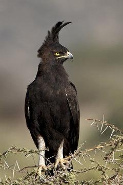 Long-crested eagle (Lophaetus occipitalis), Samburu National Reserve, Kenya