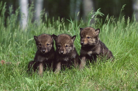 Gray wolf pups (Canis lupus), 27 days old, in captivity, Sandstone, Minnesota