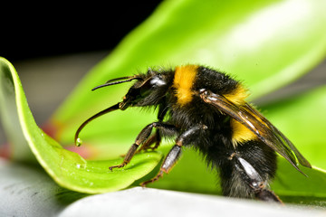 Close up of Bee with tongue out