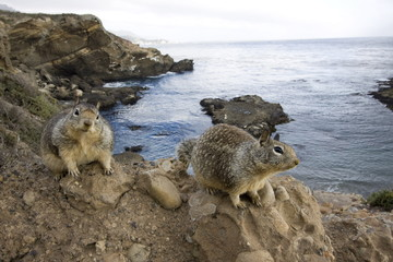 Chipmunks, San Francisco, California, United States of America, North America