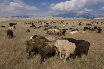 Herd of sheep at pasture, Torugart, Kyrgyzstan, Central Asia