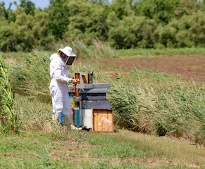 beekeeper with protective suit harvesting honey and many hives