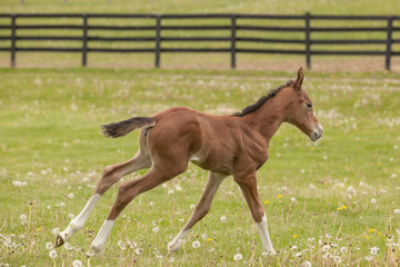 A young foal cantering in a field with a black fence in the background.