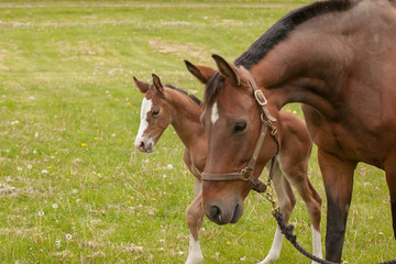 The heads of a mare and her foal in a pasture.