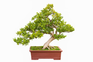 green bonsai tree of chinese littleleaf box