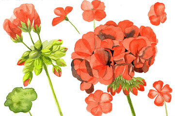 watercolor illustration of red geranium red flowers