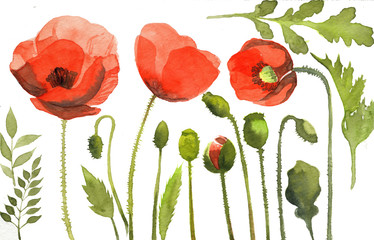 watercolor illustration of red poppy flowers