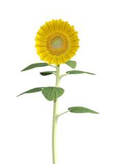 3D Rendering Sunflower on White