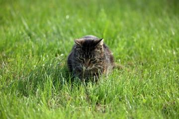 Wilde Hauskatze bei der Mäusejagd