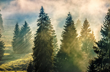 fog in the conifer forest