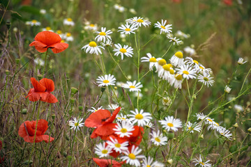 poppy and daisy flowers background