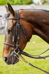 portrait of a race horse in the parade ring before a race
