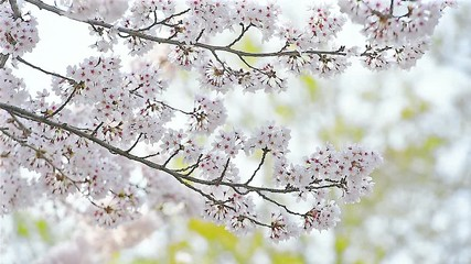 Wall Mural - Cherry blossom or Sakura in spring.
