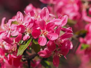 Sakura cherry blossom closeup
