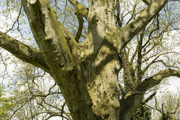 sycamore tree trunk in the countryside in spring time