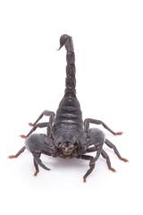 Heterometrus longimanus back scorpion.Emperor Scorpion, Pandinus
