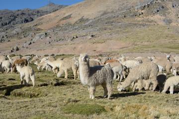 Group of Alpacas on the mountain