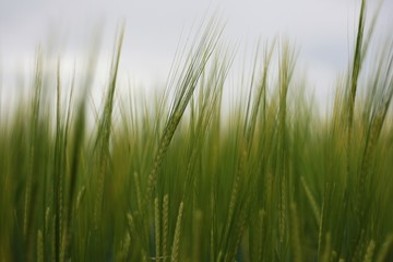 Ears of young barley field