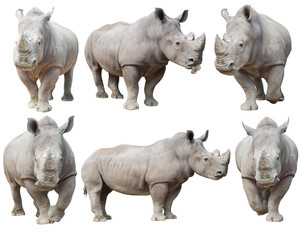 white rhinoceros, square-lipped rhinoceros isolated