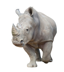 Foto op Aluminium Neushoorn white rhinoceros isolated