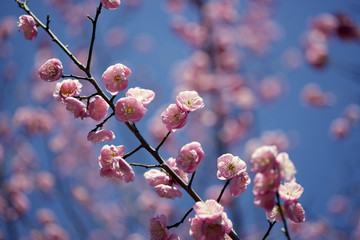 Newly bloomed cherry blossoms