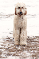 Portrait of Poodle on snow covered field