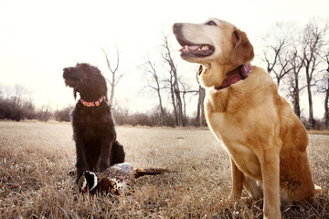 Hunting Dogs Sitting In Field With Dead Bird