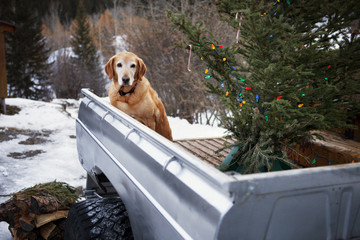 Dog in trailer with Christmas tree