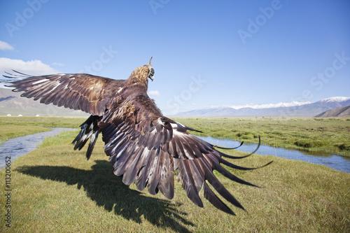 Peregrine Falcon: açıklama ve fotoğraf 6