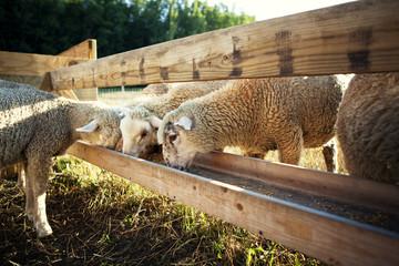 Sheep feeding in trough at farm