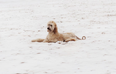 Poodle on snow covered field