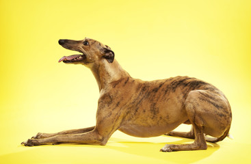 Side view of dog sitting against yellow background